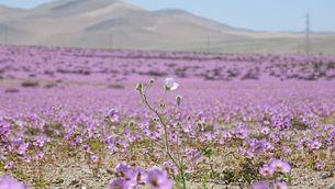 El desert d'Atacama, el més àrid del món, apareix florit