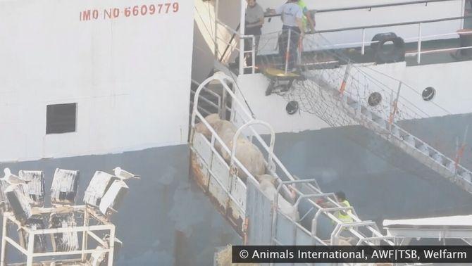 Transportar els animals vius és més barat que exportar-ne la carn