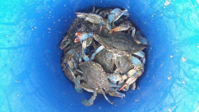 El cranc blau, una espècie invasora amb valor culinari que amenaça la pesca del Delta