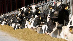 Unes vaques mengen en una explotació ramadera a Malla