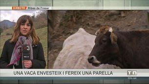 Una vaca envesteix i fereix una parella