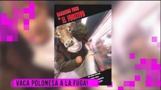 Imatge de:Vaca a la fuga!