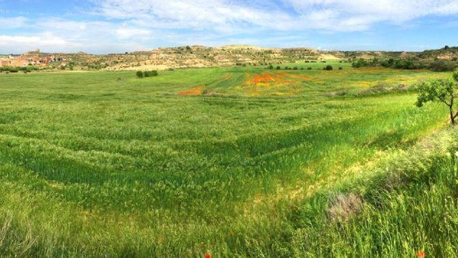 Les males herbes juguen un bon paper als camps de cereal i milloren la biodiversitat