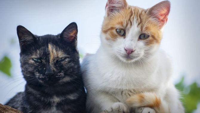 Detecten el primer gat infectat amb el coronavirus a Espanya