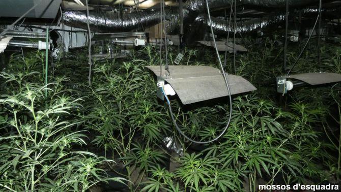 Plantes de marihuana decomissades pels Mossos al Pont de Vilomara, aquest mes