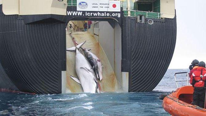 El Japó continua capturant balenes desafiant els estaments internacionals