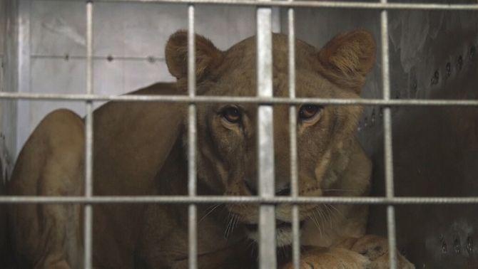Evacuen els animals del zoo de Gaza, a punt de morir de gana o de malaltia