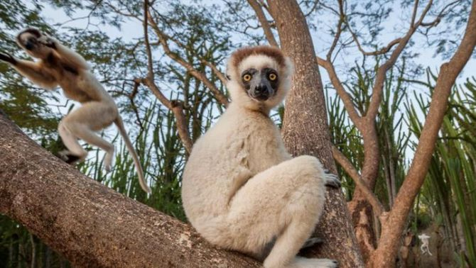 Els lèmurs de Madagascar i el hàmster europeu, en risc crític d'extinció