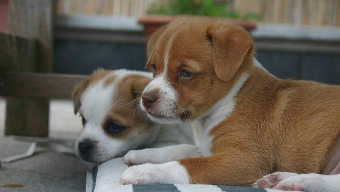 L'habilitat dels cadells de gos per interactuar amb les persones és innata