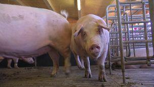 S'amplia quatre anys més la moratòria per impedir que s'obrin noves granges de porcs