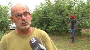 Els productors de figa d'Alguaire exportaran el 75 per cent de la collita