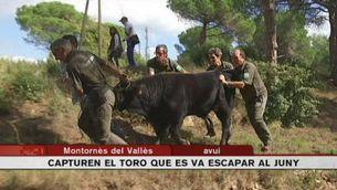 Capturat el toro que va fugir de Tiana