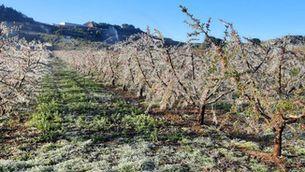 """Unió de Pagesos preveu una """"campanya complicada"""" per al sector de la fruita pels danys provocats per les gelades"""
