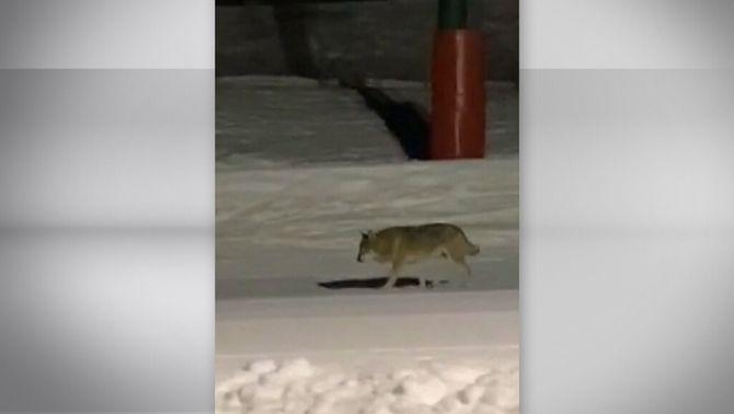 Graven un llop passejant-se per les pistes de l'estació de Núria