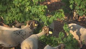 Ovelles que espampolen vinyes, una col·laboració que beneficia pastor i pagès