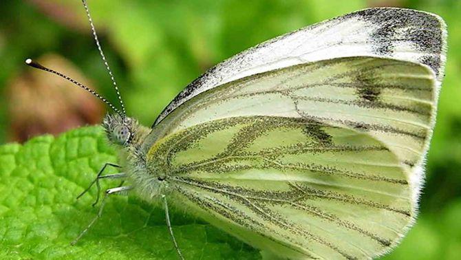 Les papallones, indicadores dels efectes de l'escalfament global