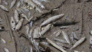 Denuncien l'aparició de desenes de peixos morts al riu Foix prop de Vilafranca del Penedès