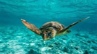 Les tortugues marines, una espècie amenaçada