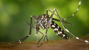 Imatge d'un mosquit tigre