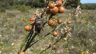 Descoberta una nova espècie a Catalunya que ja està en perill d'extinció