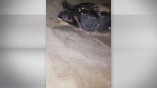 Troben 77 ous de tortuga babaua en la primera posta descoberta a Barcelona