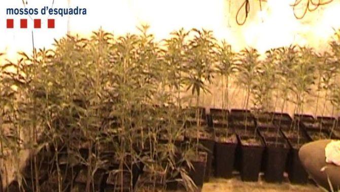 15 detinguts a Girona per cultivar més de 7.000 plantes de marihuana