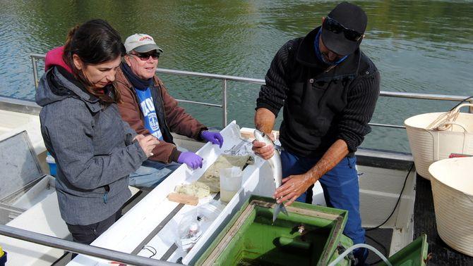 Més d'un centenar de peixos migradors duran etiquetes acústiques per estudiar la dinàmica d'aquestes espècies a l'Ebre