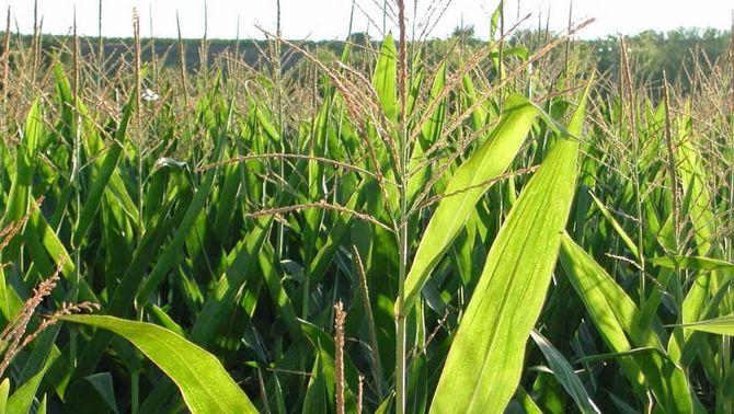 França vol que el conreu de blat de moro transgènic es prohibeixi a tots els països de la Unió