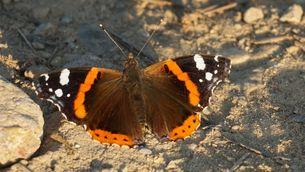 La papallona bella i migradora atalanta ja és a casa nostra