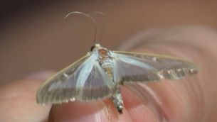 La plaga de la papallona del boix s'estén