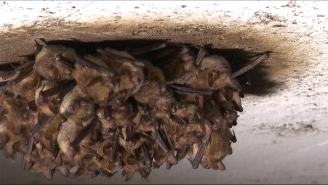 Cria de ratpenats a l'Alt Empordà