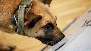 Gossos que detecten la Covid per la suor, un mètode fiable segons les primeres recerques