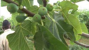 El conreu de la figa s'expandeix per les comarques de Lleida per compensar la crisi de la fruita de pinyol