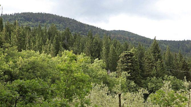 La plantació de xiprers pot servir per reduir l'avanç d'incendis.