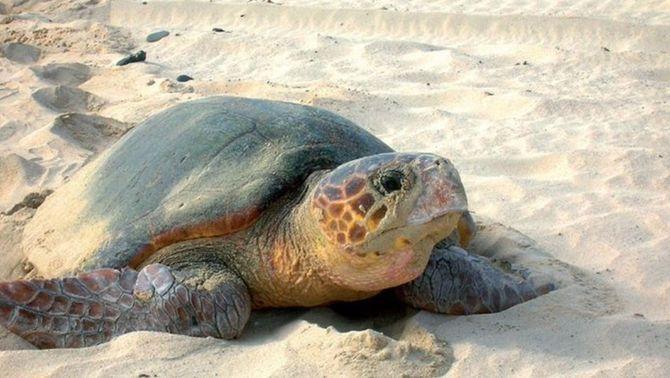 La tortuga babaua (Caretta caretta) és la més comuna al Mediterrani