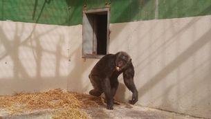 La ximpanzé Suzie ja és a la Fundació Mona després d'anys de soledat dins una gàbia