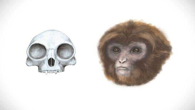 """""""Laia"""", un nou primat trobat a Catalunya, revoluciona el que es coneix sobre la cadena evolutiva"""