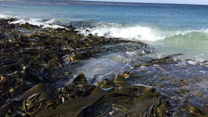 """Petits invertebrats invasors arriben a l'Antàrtida """"surfejant"""" sobre algues"""