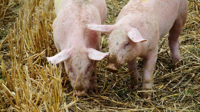 S'amplia quatre anys més la moratòria que impedeix ampliar i construir granges de porcs