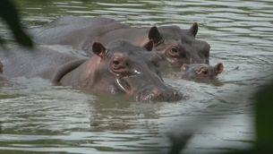 Dos dels hipopòtams de l'antiga hisenda d'Escobar, que posen en perill l'ecosistema colombià