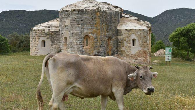 Una vaca davant del monestir de Santa Maria de Vallverd