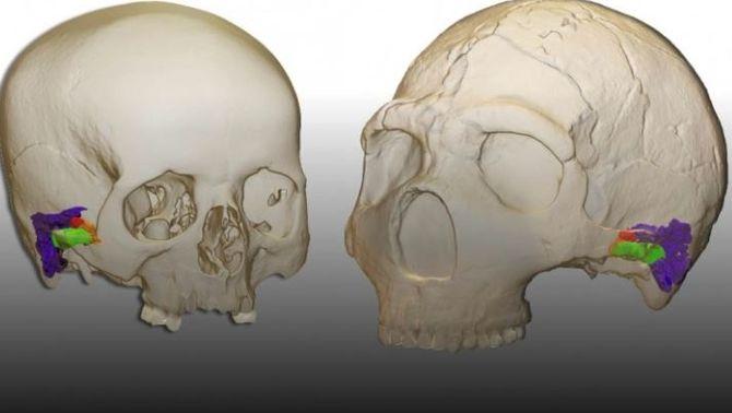 El neandertals hi sentien com els humans i això els hauria permès parlar com nosaltres