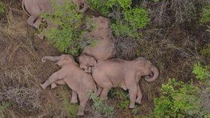 """Campos-Arceiz: """"No crec que els els elefants de la Xina sàpiguen on van"""""""