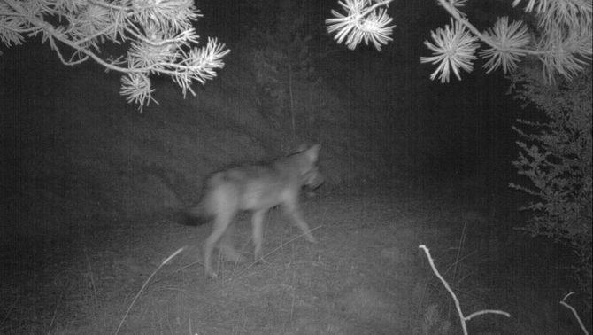 Detecten la presència d'un llop al Port del Comte
