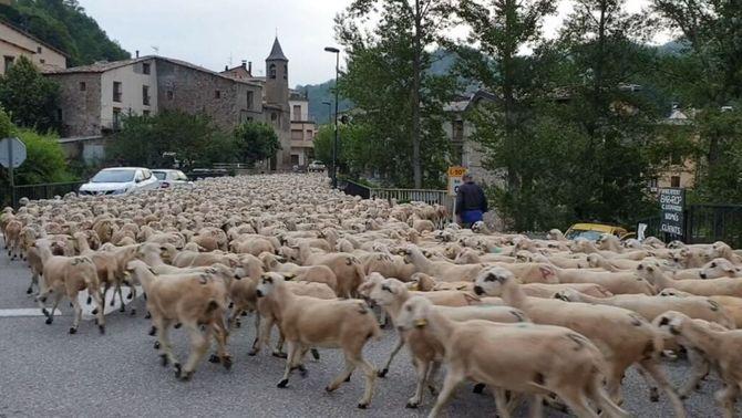 Transhumància de milers d'ovelles a la Vall Fosca