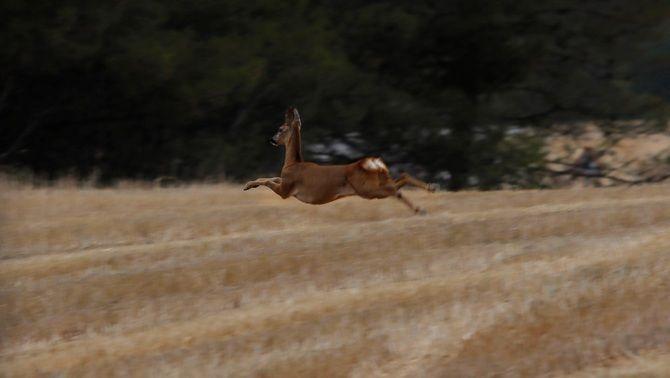 Un cérvol fuig de la zona en flames