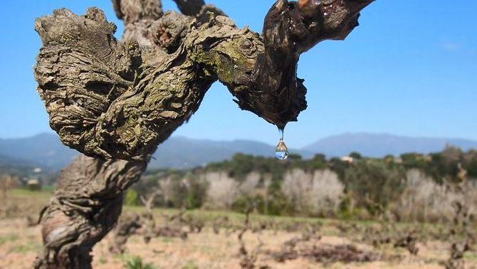 El plor de la vinya