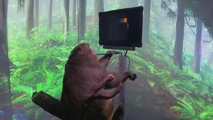 Un mico que mou l'ordinador amb el pensament