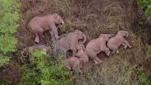 La curiosa imatge d'un grup d'elefants que descansa a la Xina