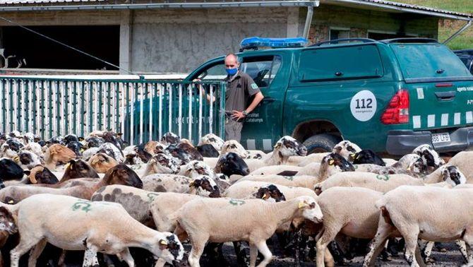 Els gossos haurien d'anar lligats a la muntanya per evitar que ataquin als ramats